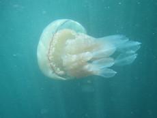 Barrel jellyfish, Burgh Island, Devon - 2015.