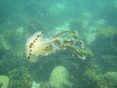 Compass jellyfish, Beady Pool, Scilly - 2016.
